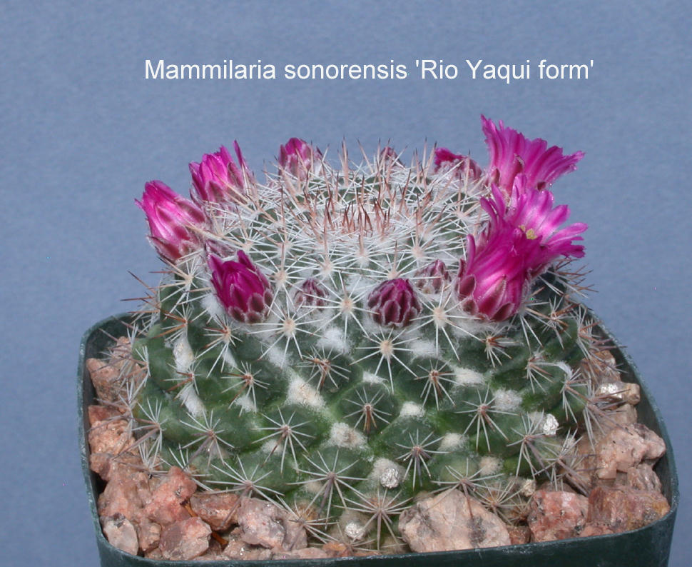 Mammillaria m movensis low blue green stems with short light colored spines wooly axils and rings of pink flowers in spring can form large cluster in time mightylinksfo